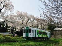 鮎川小学校 桜 鯉のぼり 保坂敦