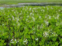 白く小さな可愛いミツガシワの花