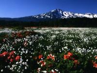 白い小さな綿帽子を茎の先につけたワタスゲと、オレンジ色が鮮やかなレンゲツツジの群生