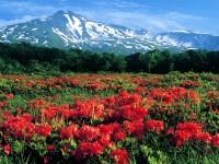 レンゲツツジの大開花(およそ4年に一度大開花します)