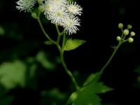 モミジカラマツ(紅葉唐松)キンポウゲ科カラマツソウ属