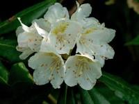 ハクサンシャクナゲ(白山石楠花)~ツツジ科